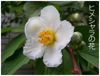 ヒメシャラの花写真